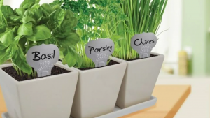 grow culinary herbs